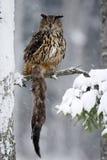 Eurasian grande Eagle Owl que senta-se no tronco de árvore nevado com neve, floco de neve e a marta marrom da matança durante o i foto de stock