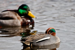 Eurasian Green-winged Teal (Anas crecca crecca) Royalty Free Stock Image