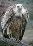 Eurasian Griffon 1 Royalty Free Stock Photography