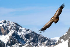 Eurasian griffon. Griffon in front of the mountains Royalty Free Stock Photography