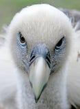 Eurasian Griffon 3 Royalty Free Stock Photos