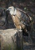 4 eurasian griffon Στοκ Εικόνες