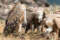 Eurasian Griffon  Gyps fulvus Stock Images