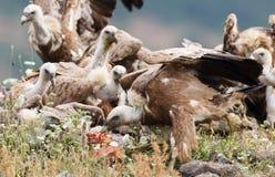 Eurasian Griffon  Gyps fulvus Royalty Free Stock Photo