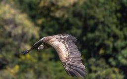 Eurasian Griffon Vulture em voo em um dia ensolarado Imagens de Stock Royalty Free