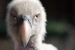 Eurasian griffon vulture portrait, Stock Photo