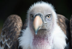 Eurasian griffon vulture portrait, Gyps fulvus Royalty Free Stock Image