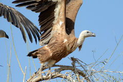 Eurasian The Griffon vulture Taking off BIKANER. Like other vultures, it is a scavenger, feeding mostly from carcasses of dead animals which it finds by soaring royalty free stock image