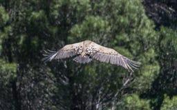 Eurasian Griffon Vulture in volo un giorno soleggiato fotografie stock