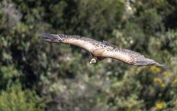 Eurasian Griffon Vulture in volo un giorno soleggiato fotografie stock libere da diritti