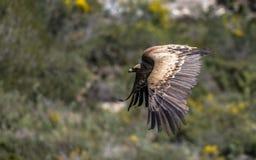 Eurasian Griffon Vulture in volo un giorno soleggiato fotografia stock libera da diritti