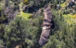 Eurasian Griffon Vulture in volo un giorno soleggiato immagini stock