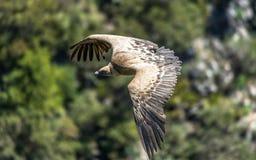 Eurasian Griffon Vulture in volo un giorno soleggiato fotografia stock
