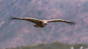 Eurasian Griffon Vulture in volo un giorno soleggiato immagini stock libere da diritti
