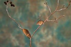 Eurasian harvest mice royalty free stock photo