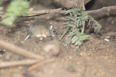 Eurasian harvest mouse royalty free stock image