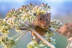 Eurasian Harvest mouse feeding on seeds royalty free stock photo