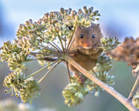 Eurasian Harvest mouse foraging on seeds stock photography