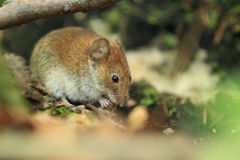 Eurasian harvest mouse Stock Photo