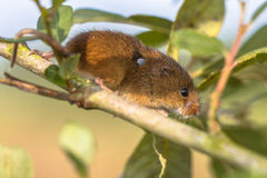 Eurasian Harvest mouse with Tick stock photos
