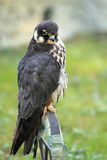 Eurasian hobby Royalty Free Stock Images
