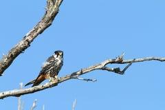 Eurasian hobby on banch. Eurasian hobby ( falco subbuteo ) standing  on branch over blue sky Stock Image