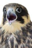 Eurasian Hobby(Falco Subbuteo). A portrait of a eurasian hobby stock photo
