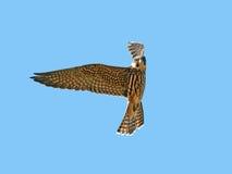 Eurasian hobby (Falco subbuteo). Eurasian hobby in flight with blue sky in the background Stock Photo