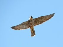Eurasian hobby (Falco subbuteo) Royalty Free Stock Photography