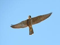 Eurasian hobby (Falco subbuteo). Eurasian hobby in flight with blue sky in the background Royalty Free Stock Photography