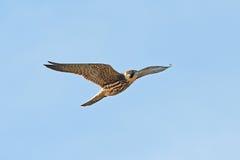 Eurasian hobby (Falco subbuteo) Royalty Free Stock Image