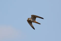 Eurasian Hobby falcon Falco subbuteo flying, in flight. Against blue sky Royalty Free Stock Photos