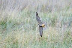 Eurasian Hobby falcon Falco subbuteo flying, in flight, bankin. G hard and low through long grass Stock Photo