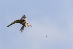 Eurasian Hobby falcon Falco subbuteo flying, in flight. Hunting catching predating chasing dragonfly dragonflies against blue sky Stock Image