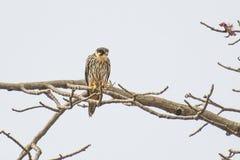 Eurasian Hobby. Falco subbuteo waiting for the prey Stock Photography