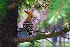 Eurasian Hoopoe  -2 Royalty Free Stock Images