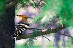Eurasian Hoopoe. In the pine tree Stock Photography