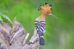 Eurasian Hoopoe Royalty Free Stock Photo