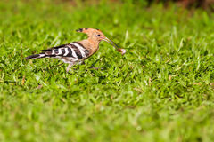 Eurasian hoopoe eating bug. On green grass Royalty Free Stock Photos
