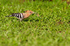 Eurasian hoopoe eating. Bug on green grass Stock Photography