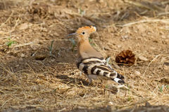 Eurasian Hoopoe on the Ground Stock Photo
