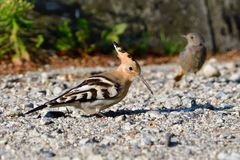 Eurasian hoopoe looking for food Stock Image