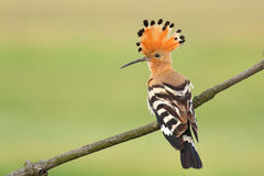Eurasian Hoopoe. Hoopoe near the nesting place Stock Images
