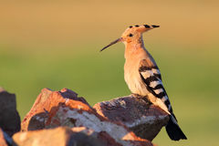 Eurasian Hoopoe Royalty Free Stock Image