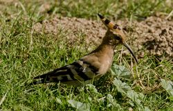 A Eurasian Hoopoe. Searching for food in a sunny afternoon in a forest Royalty Free Stock Image