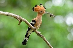 Eurasian hoopoe (Upupa epops) Stock Photography