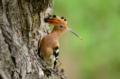 Eurasian hoopoe (Upupa epops) Royalty Free Stock Photos