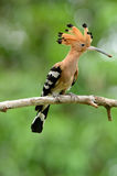 Eurasian hoopoe (Upupa epops) Royalty Free Stock Photography