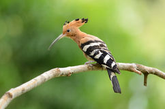Eurasian hoopoe (Upupa epops) Royalty Free Stock Photo