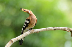 Eurasian hoopoe (Upupa epops) Stock Photo